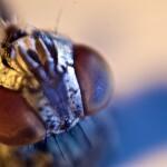 cabezas de mosca