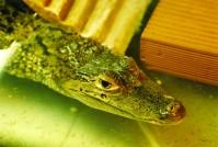 caiman cocodrilus