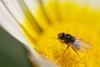 mini mosca polinizadora
